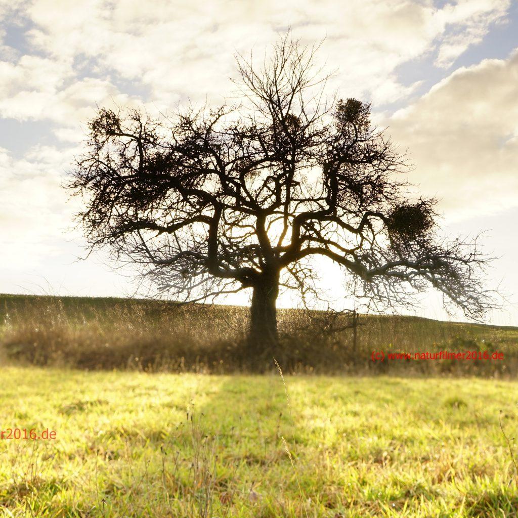 Obstbaum im herbstlichen Gegenlicht